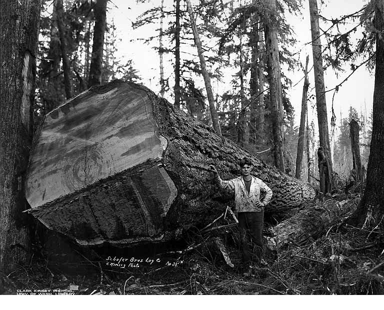 Couper des tr s gros arbres - Coupe des arbres fruitiers ...