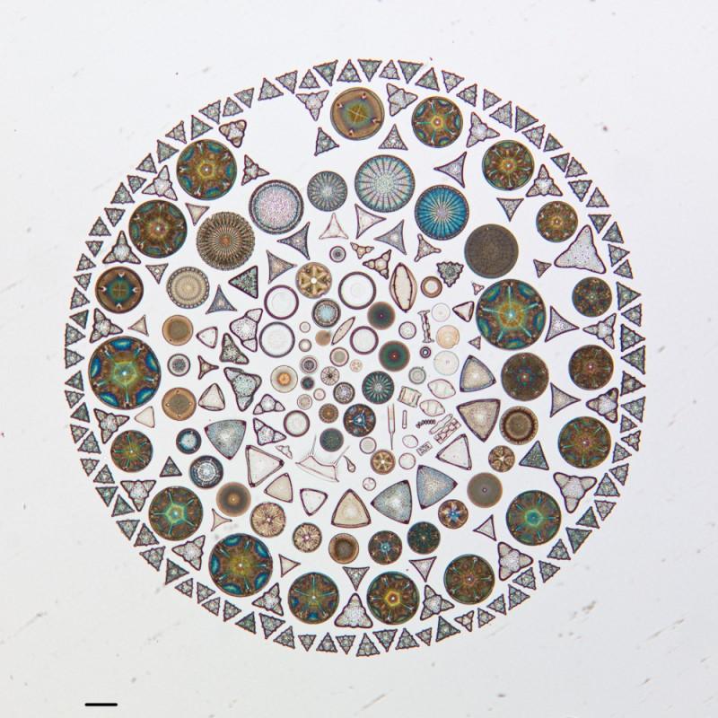 algue microscope geometrie 01 800x800 Des arrangements géométriques de micro algues diatomées au microscope  technologie art