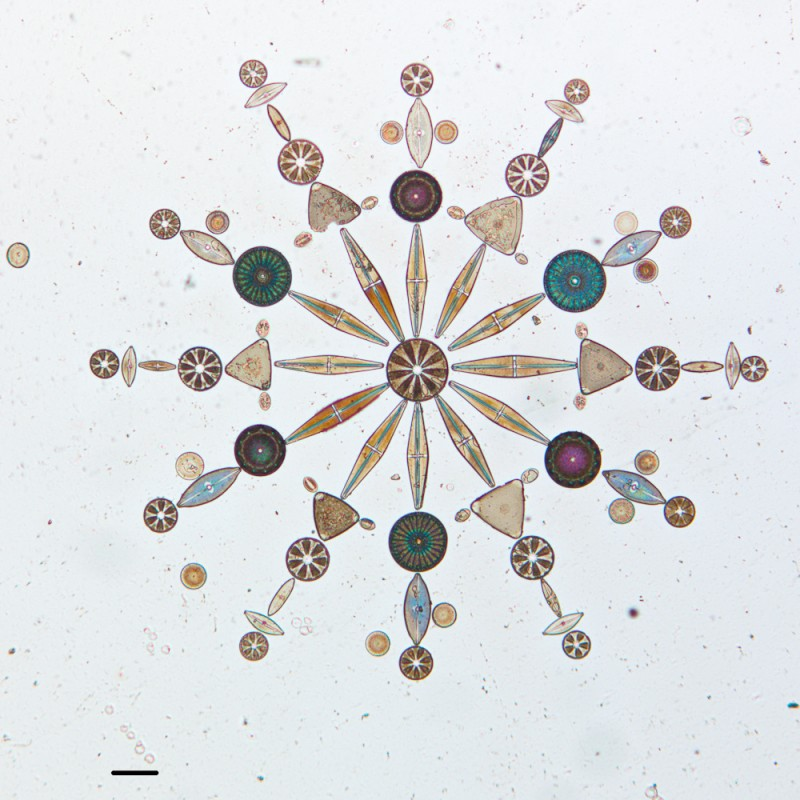 algue microscope geometrie 04 800x800 Des arrangements géométriques de micro algues diatomées au microscope  technologie art