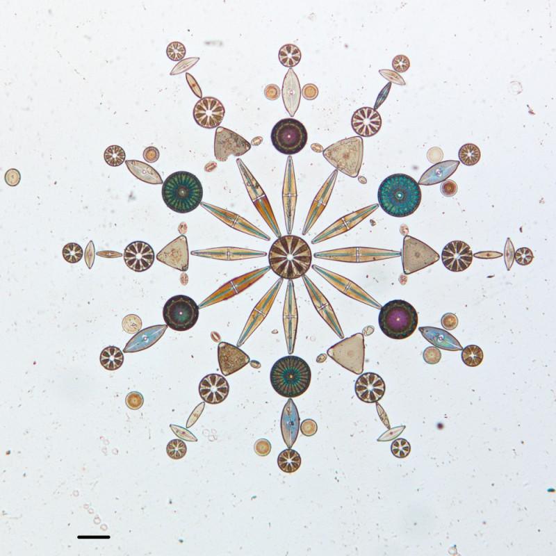 algue-microscope-geometrie-04