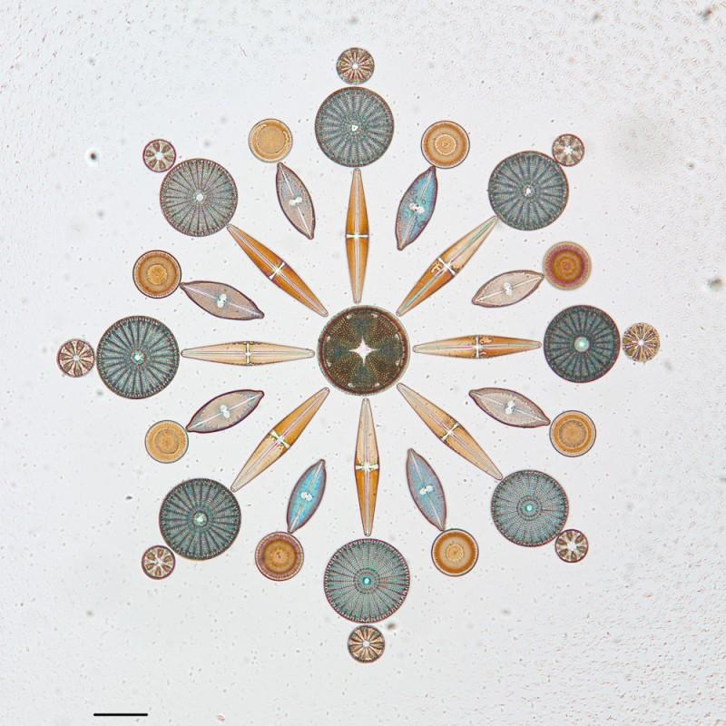 algue microscope geometrie 05 800x800 Des arrangements géométriques de micro algues diatomées au microscope  technologie art